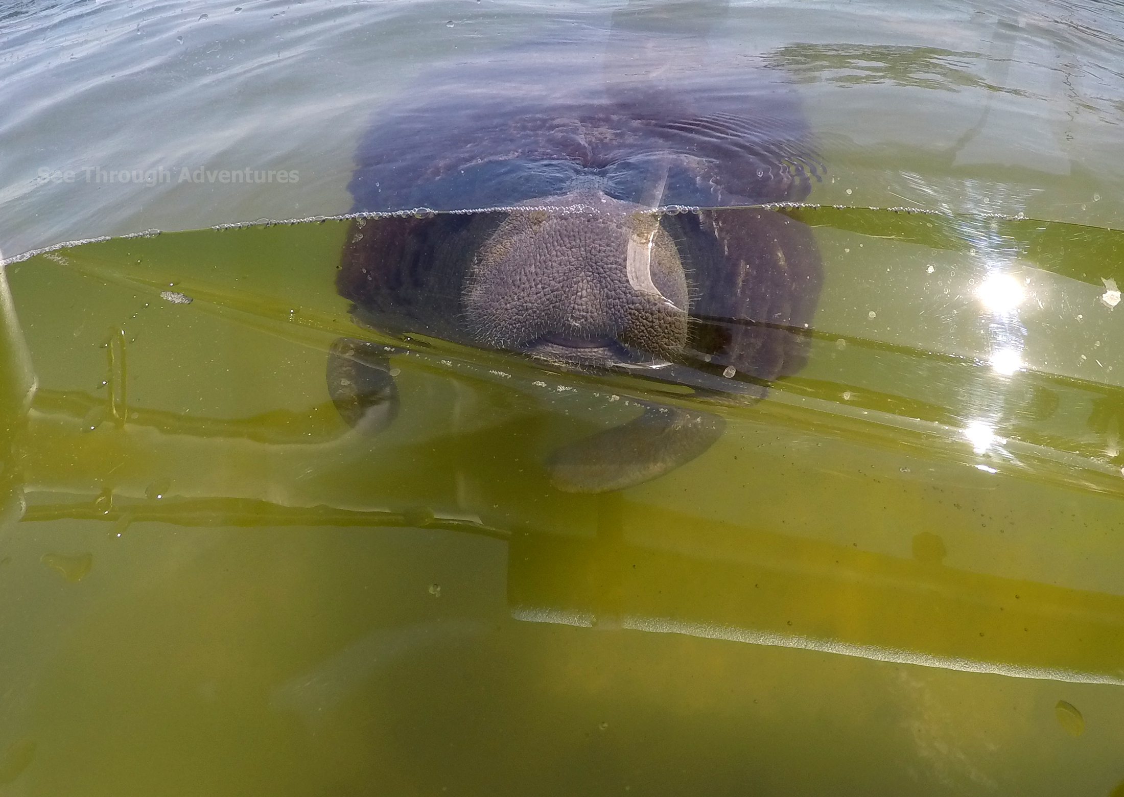 Manatee checking out the clear canoe